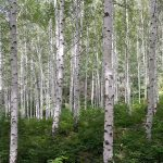 koivu metsä puu